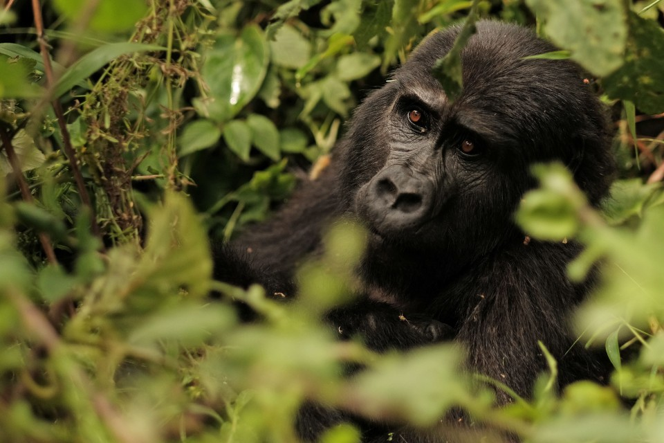 Bwindi gorilla  by Brian Harries