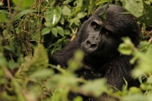 Bwindi gorilla by Brian Harries