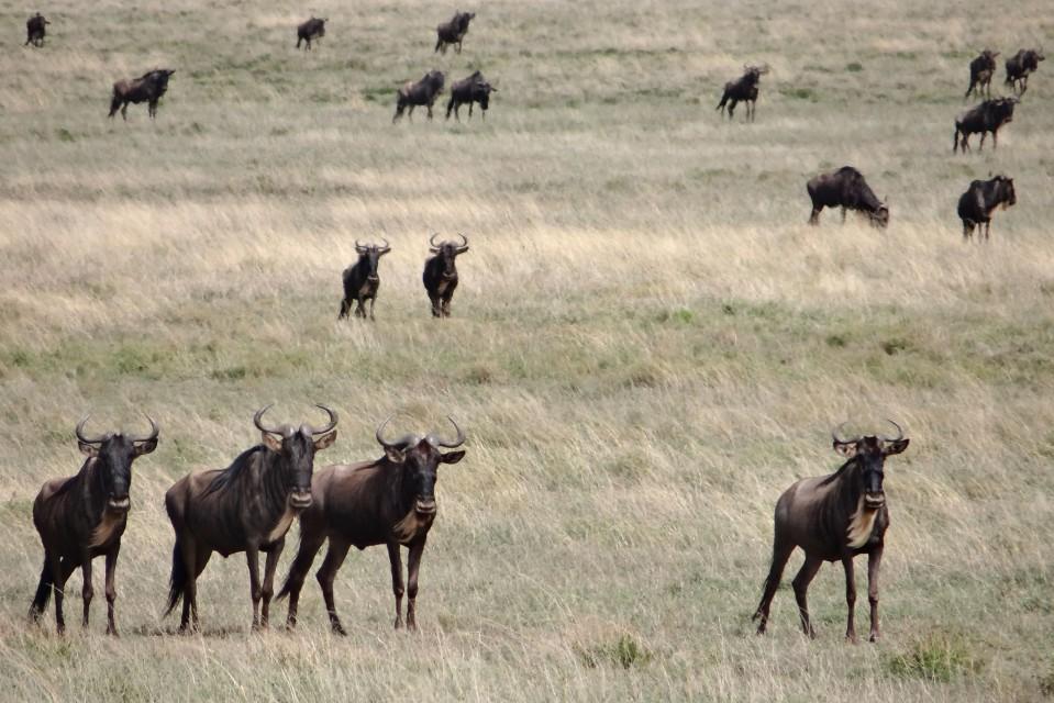 Serengeti wildebeest  by erdbeernaut