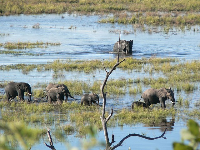 Chobe elephants  by Mara 1