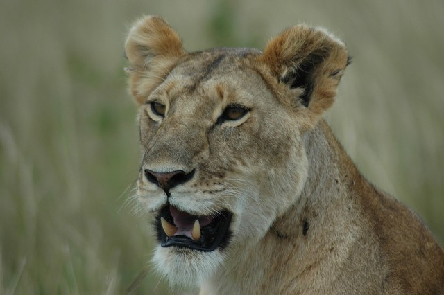 Masai Mara lion  by The Communist's Daughter