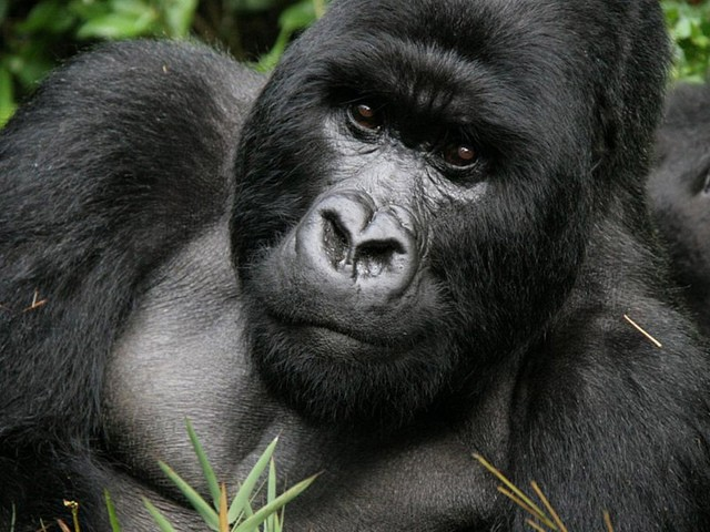African Mountain Gorilla  by Nonprofit Organizations
