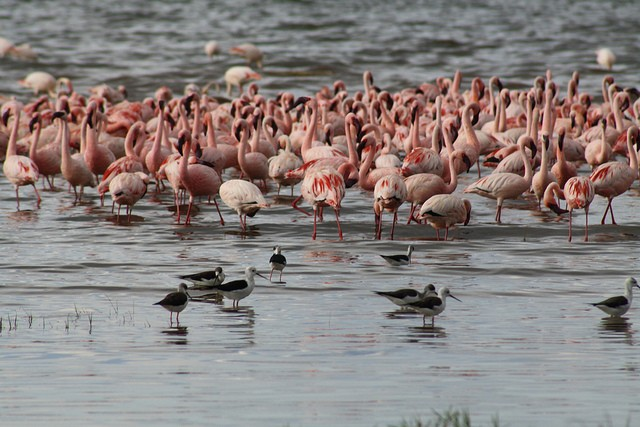 Lake Nakuru flamingos  by shankar s.