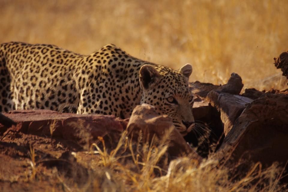 Etosha leopard  by Mazzali