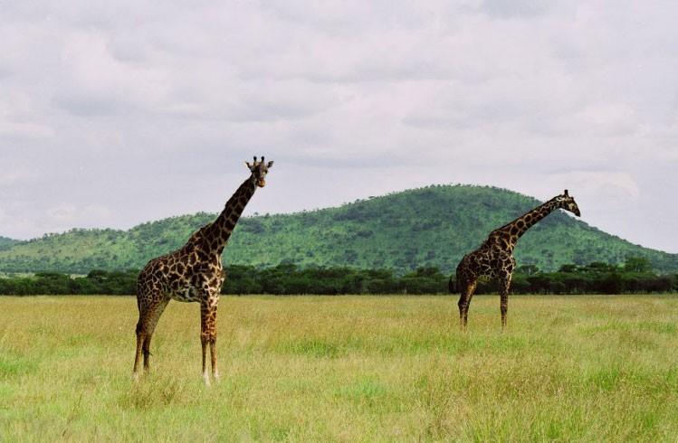 Serengeti Park giraffes image