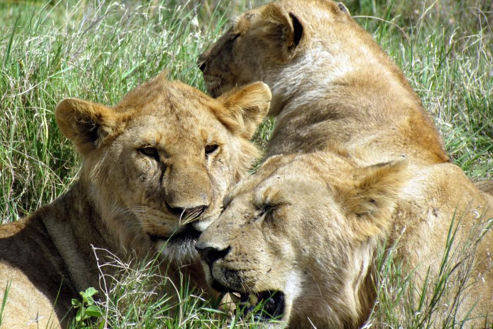 Serengeti lions  by David Berkowitz