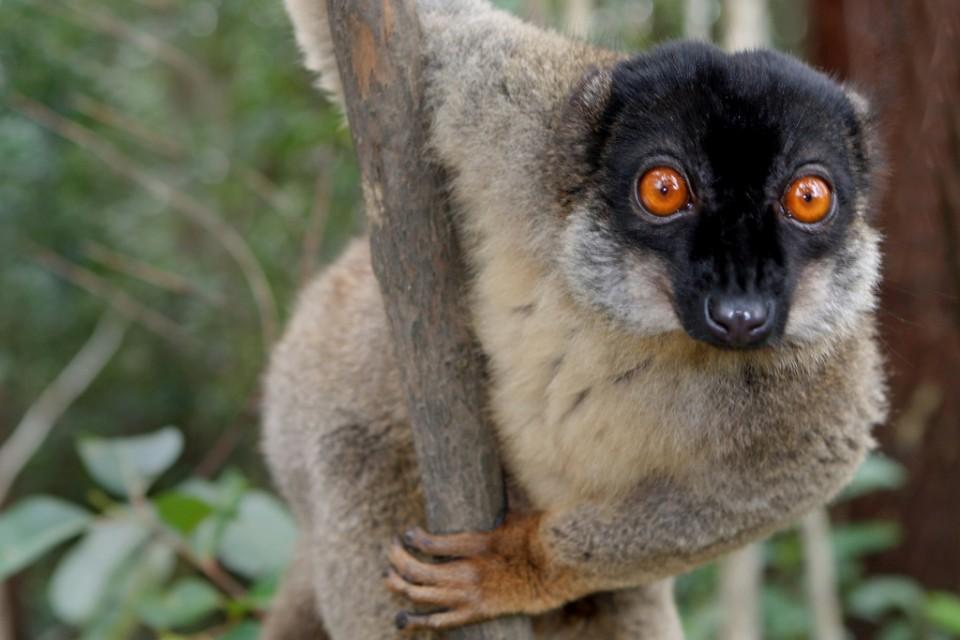Brown lemur in Andasibe   by David Dennis