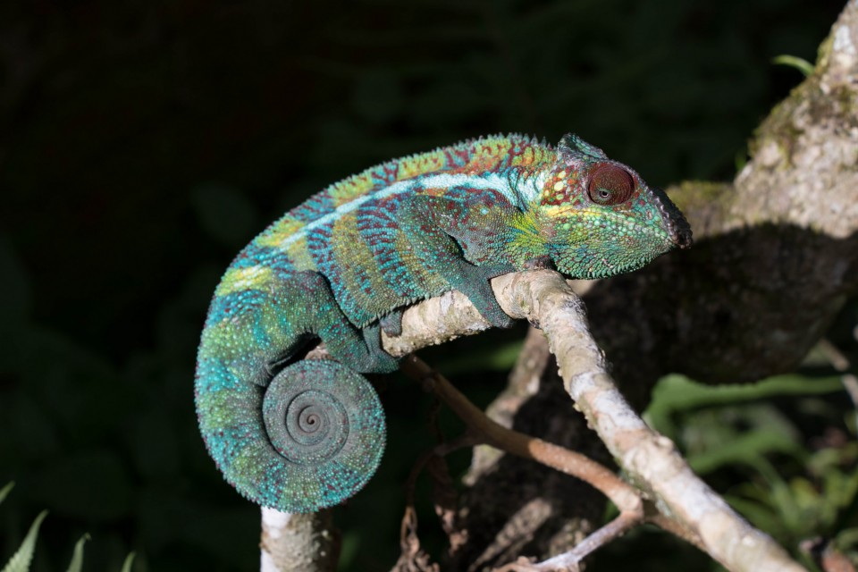 Chameleon  by Daniel De Lapelin Dumont
