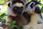 Madagascar lemur resize