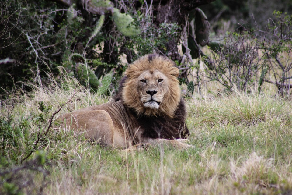 Addo Park lion  by Miran Hojnik