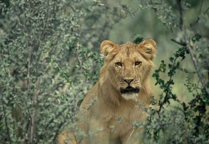 Lion cub in Kruger Park