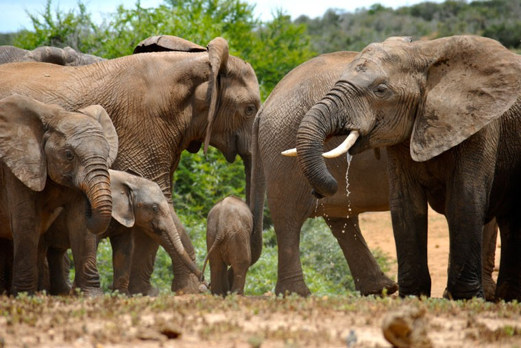 Addo Elephants in South Africa