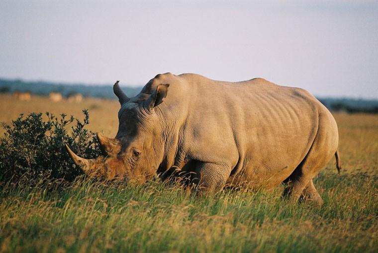 Rhino in Khama Botswana