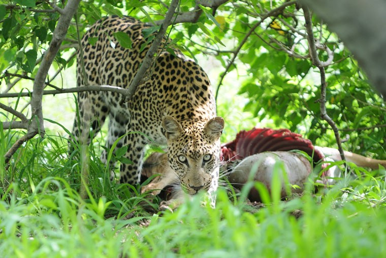 Leopard in Moremi Game Reserve  by Bruce Taylor
