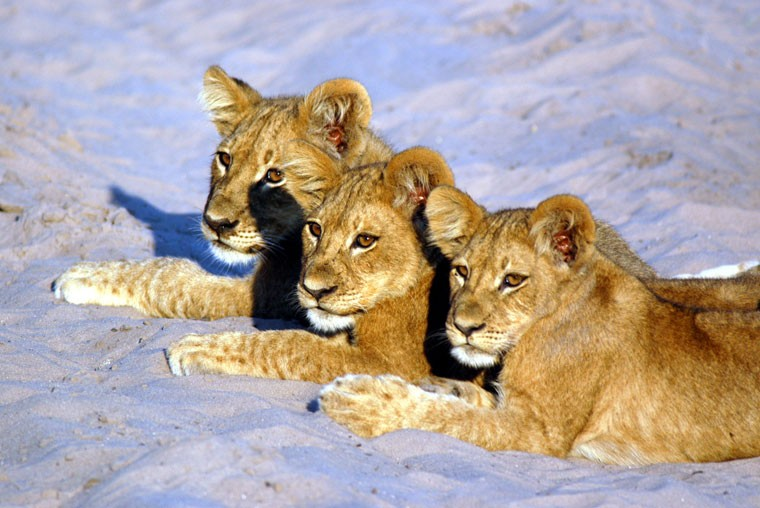 Savuti Lion cubs in Botswana