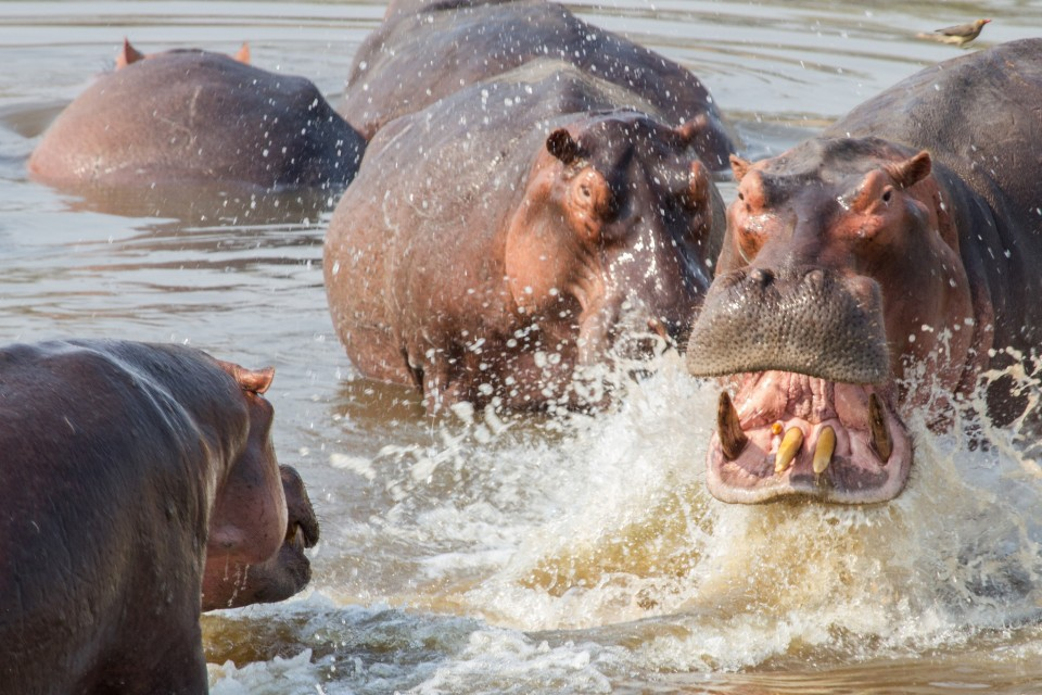 Luangwa hippos  by Richard Toller