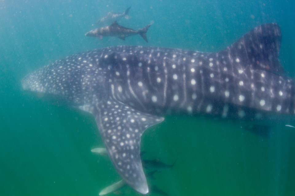 Whaleshark  by Tchami