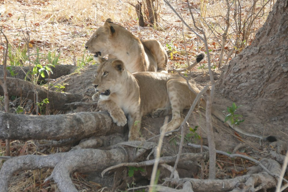 Luangwa lions  by Erica Hayton