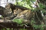 Leopard in Kruger Park