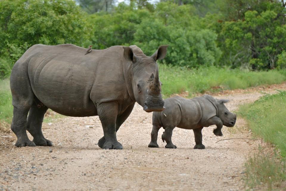 Kruger rhinos  by Bernard DUPONT