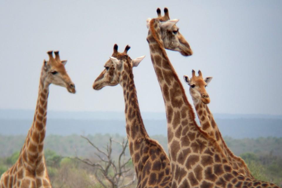 Kruger giraffes  by butforthesky.com