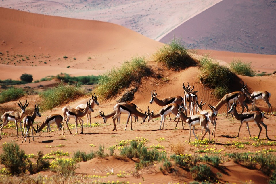 Springbok in desert
