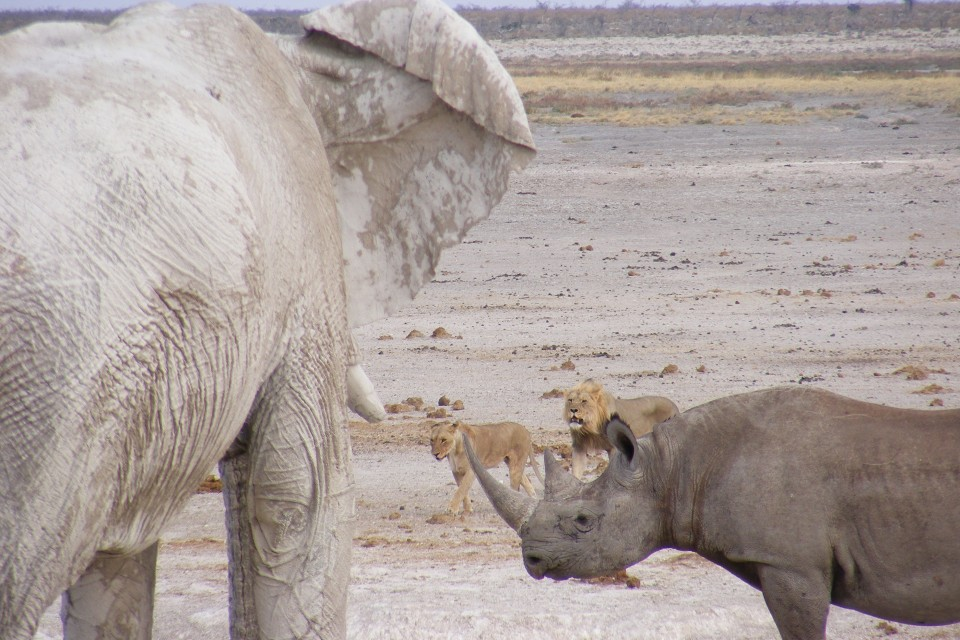 Elephant, rhino and lions in Etosha