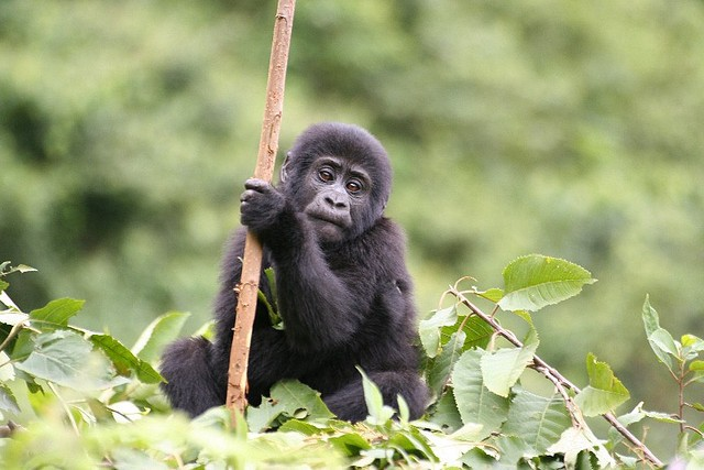 Baby gorilla  by Heather Thorkelson