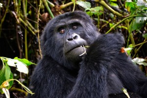 Mountain gorilla by Rod Waddington