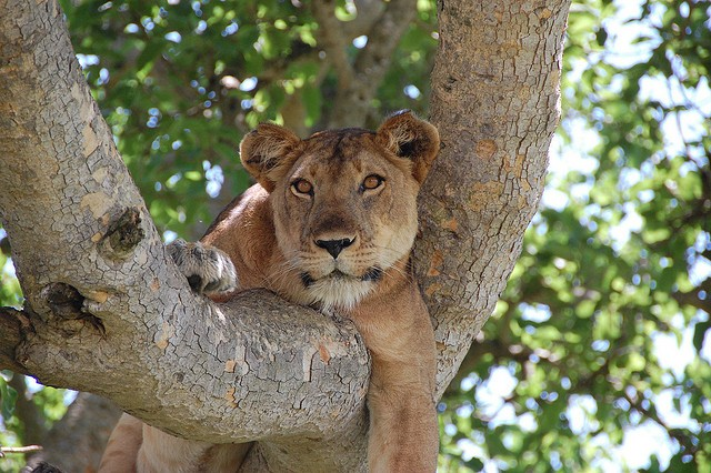 Tree climbing lion  by Noel Reynolds