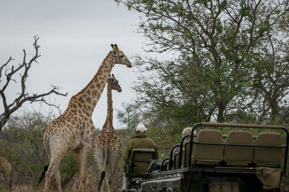 Giraffes on game drive