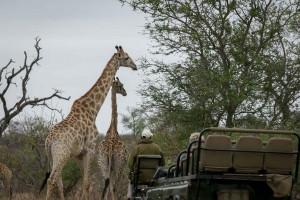 Giraffes on game drive