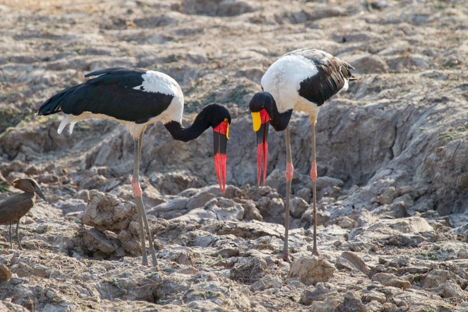 Saddle-billed storks  by Richard Toller