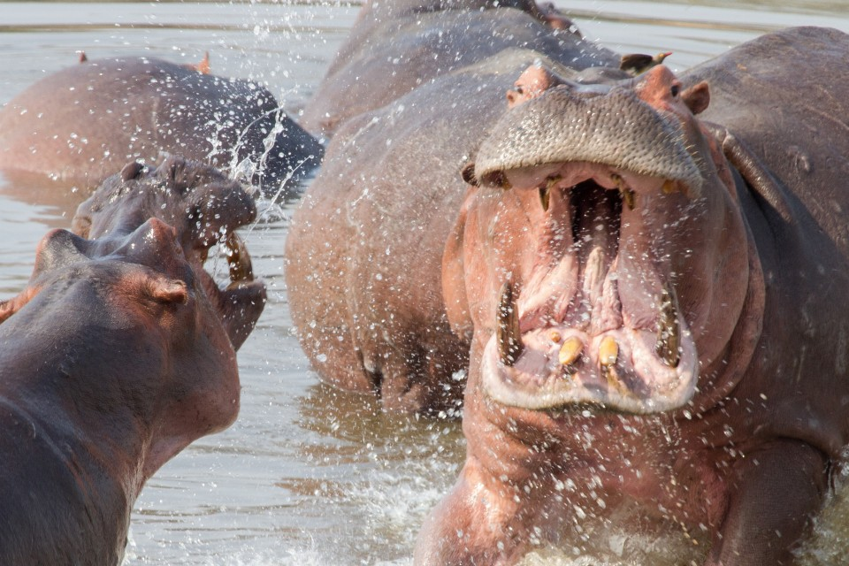 Luangwa hippos  by Richard Toller