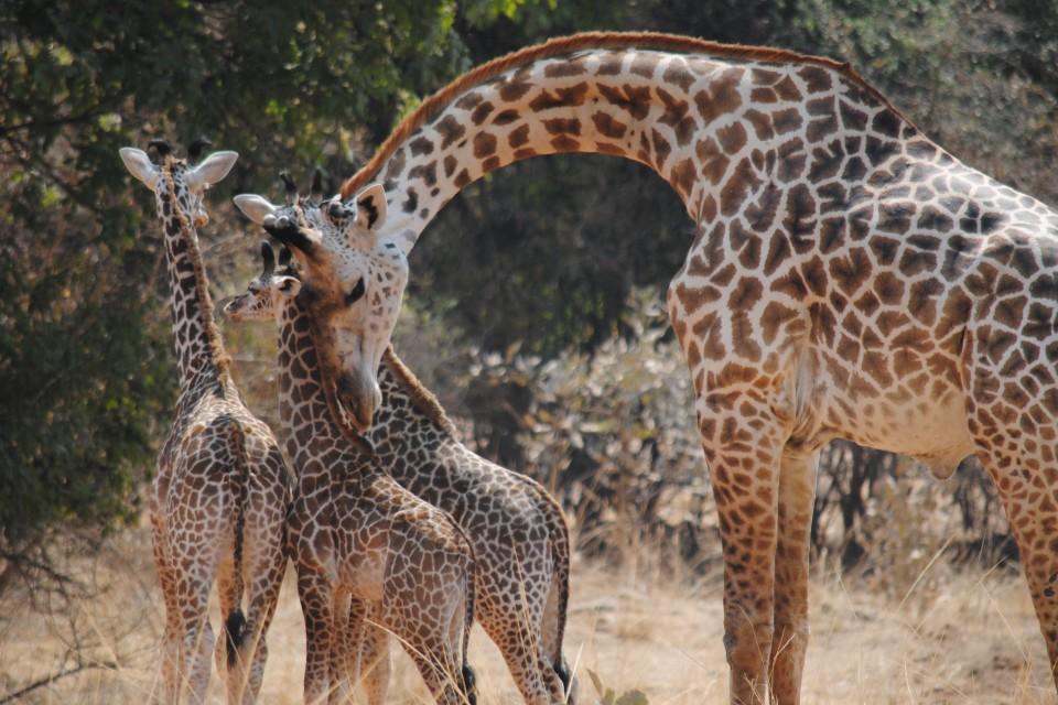 Luangwa giraffes