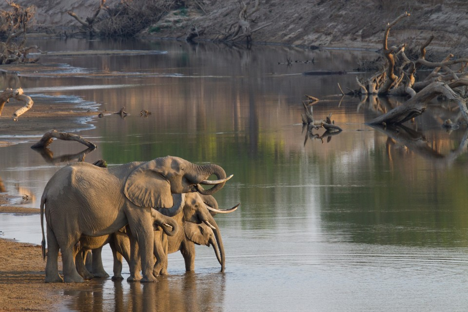 Luangwa elephants  by Richard Toller