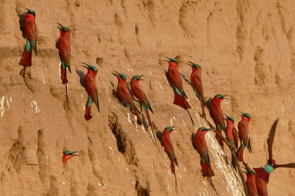 Carmine bee-eaters  by Erica Hayton
