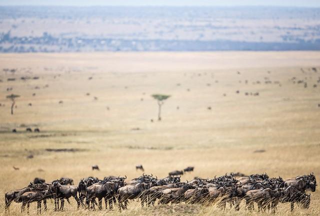 Masai Mara wildebeest  by Make it Kenya