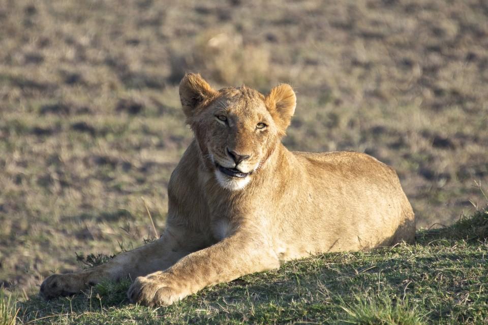 Mara lion  by Nicolas Gautschi