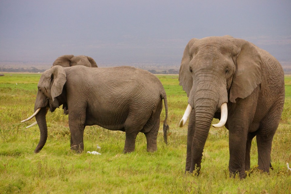 Elephants in Amboseli  by Neil Ransom