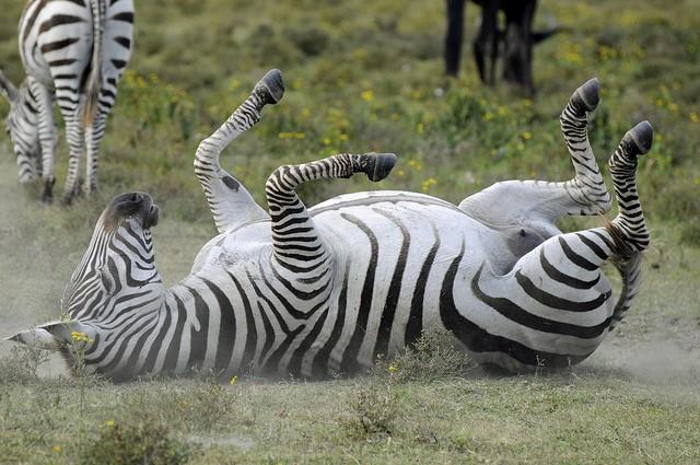 Lake Naivasha zebra  by Son of Groucho
