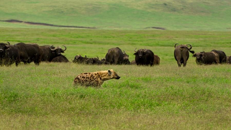 Hyena and buffalos  by Ganesh Raghunathan