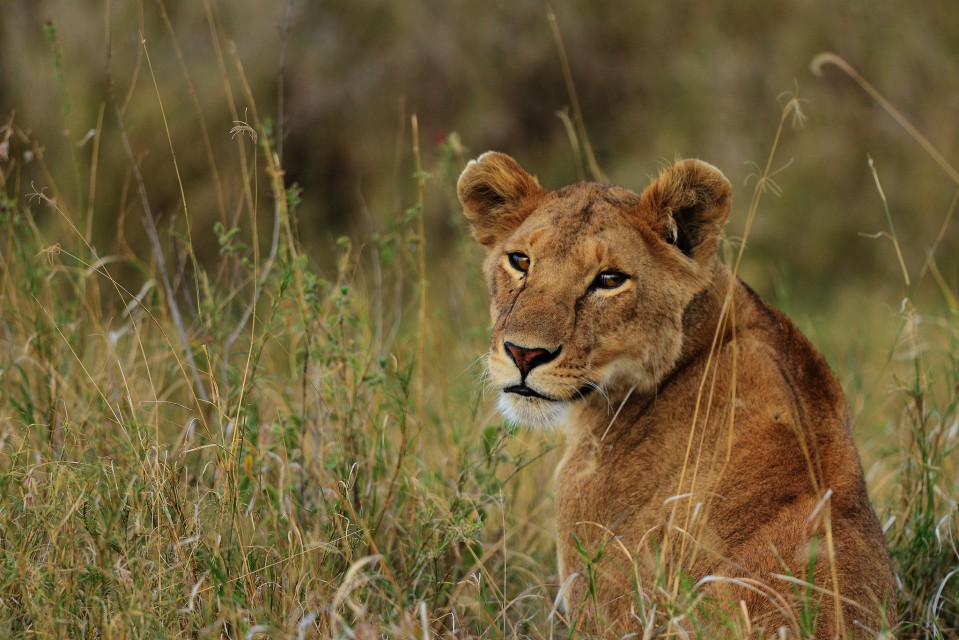 Serengeti lioness  by Navin Sigamany