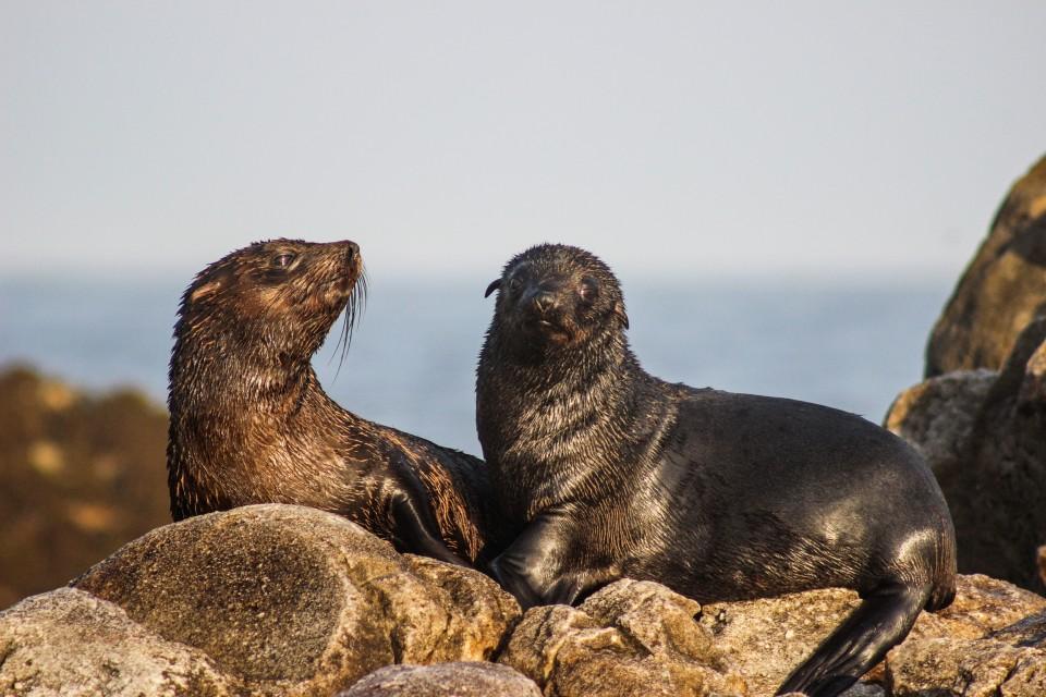 Seals at Geyser Rock