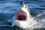Great White Shark Dive Tour to Gansbaai