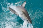 Great White Shark Diving Tour in Gansbaai