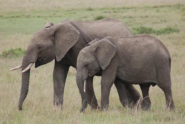 Mara elephants  by Miss Fairchild