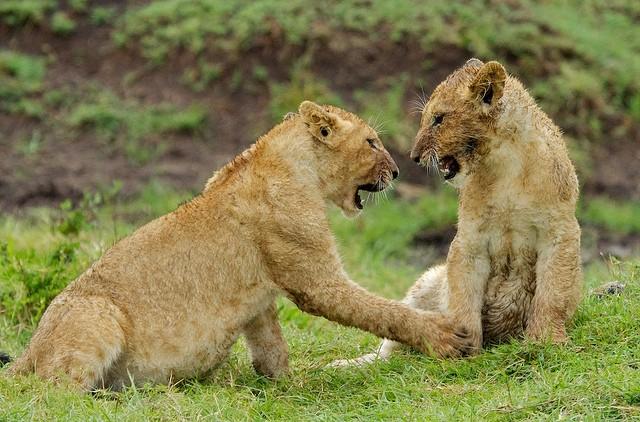 Lion cubs in Masai Mara  by Stuart Richards