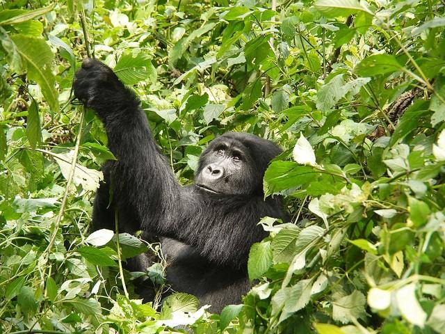 Mountain gorilla  by Martijn.Munneke