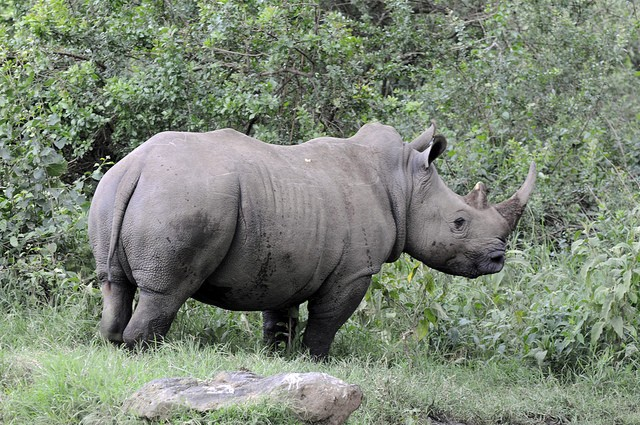 Lake Nakuru rhino  by Son of Groucho